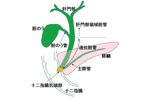 肝外胆道系の区分